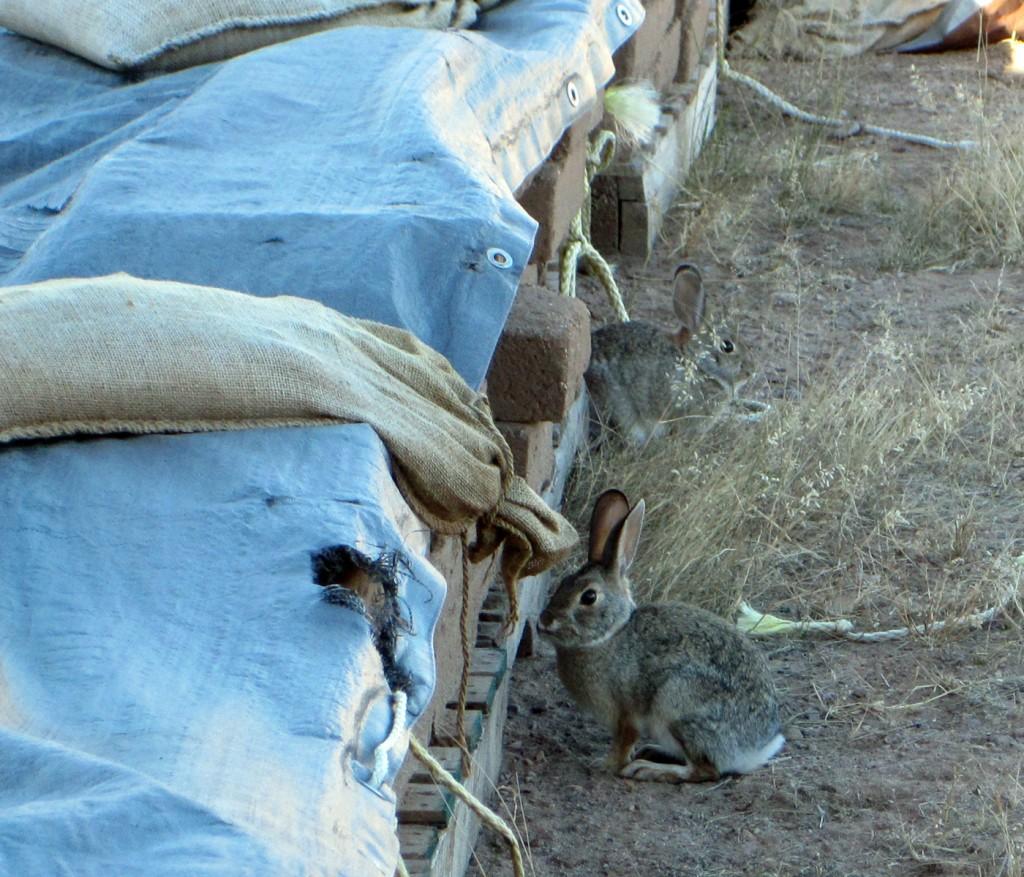 rabbits1-sm