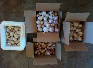 boxes of garlic