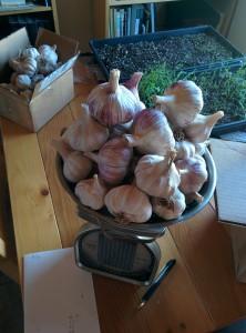 garlic on a scale
